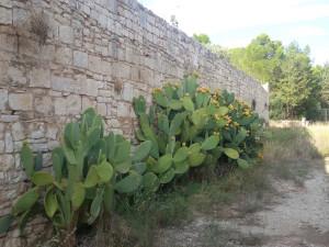 Balsignano: Le mura medievali invase dai fichi d'India